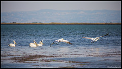 Pelicans on the Move (pap-x) Tags: autumn sea summer bird nature water canon fly wildlife pelican greece national 55 egret geographic 250 birdwatch 550d ελλαδα kaloxori καλοχωρι