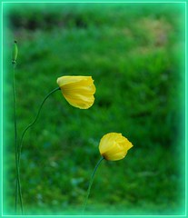 Welsh poppies going to sleep. Meconopsis cambrica (Andy - enjoying your pics) Tags: photoshop picasa meconopsis cambrica eelements10