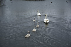 Rabbit Ings (244) (rs1979) Tags: rabbitings royston barnsley southyorkshire yorkshire pond muteswan muteswans swan swans cygnet cygnets