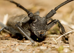 longhorn beetle (roly2008.) Tags: longhorn beetle bug insect chateaumoulin limoges france wildlife canon 1dmkiv sigma 180mmmacro