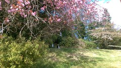 Cherry Blossoms in our Grotto