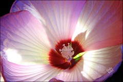 Hibiscus I (ChipRossMaine) Tags: hibiscus flower lighting rgb canonrebelt3i canoneos600d rebelt3i eos600d chipsfolio