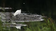 Breakfast Buddy (Ian Livesey) Tags: leightonmoss rspb silverdale lanashire bird breakfast colour uk summer feeding wading