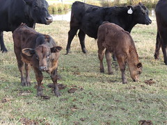 153 154 (HVRcattle) Tags: 153 154