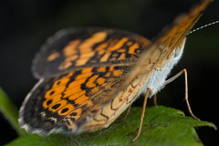 Pearl Crescent (TDotson) Tags: canon canon70d macro macrolicious macronaut macrolife insect insects insectmacro mpe mpe65 mpe65mm handheld diffusion 270exii butterfly