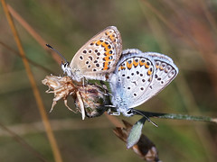 Silver-studded Blue (chaz jackson) Tags: silverstuddedblue plebejusargus blue lycenidae butterfly insect macro macedonia