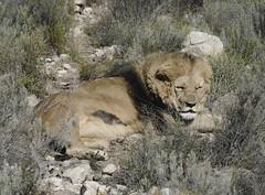 Mufasa (martaD7000) Tags: lion safari aquila