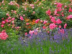 Roses and lavender... (libra1054) Tags: rosen rosas roses rose lavendel lavender lavanda lavande blumen fiori flores flowers fleurs flora giardino jardîn garden jardim garten jardin outdoor nature natur natura