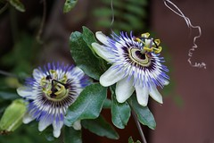 """""""Strange"""" flower (HOVECREATIONS) Tags: clematis beautifull"""