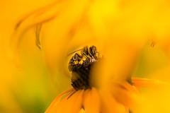 Biene (louhma) Tags: honigbiene unschrfe bee flower bokeh biene blume