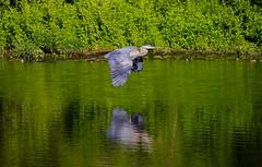 Great Blue Heron (wvsawwhet) Tags: bird birding birds birdwatching birdsofwestvirginia westvirginia wv westvirginiabirds greatblueheron heron marioncounty prickettsfort