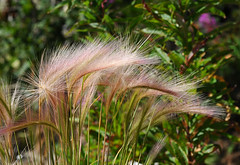Foxtail Barley (jjdorsey57) Tags: bc jjdorsey57 bigwhite