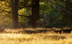 Deer in Woods II (Philbo24) Tags: richmond london uk richmondpark deer morning sunrise woods trees sunlight