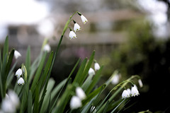Snowdrops (Ptolemy the Cat) Tags: snowdrops flowers bokeh blur garden nikond600 tamronf2890mmmacrolens