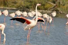 Flament rose au parc ornithologique du pont de Gau - Greater Flamingo (frimoussec) Tags: flament rose au parc ornithologique du pont de gau greater flamingo oiseau aquatique bird vol