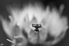 Bug (briejeshpatel) Tags: brijesh patel briejeshpatel karnataka flowershowaugust152016 macro flowers canon 7dcanon l lens dslrcanon 100mm f28l bangalore lalbagh flower show2016 f28 macrophotography macrography
