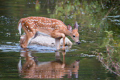 Fawn (NicoleW0000) Tags: fawn white tailed deer natur wildlife photography wild nature