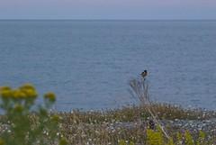 16071612 Newcastle-stonechat (Philip D Ryan) Tags: ireland countywicklow newcastle newcastlebeach irishsea stonechat eveninglight sunset seascape