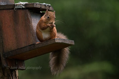 Red Squirrel (kfjmiller) Tags: 150600mm 2016 aberfoyle animal august birds forest nature nikon nikond610 outdoors queenelizabethforest tamron thelodge trees wildlife wood