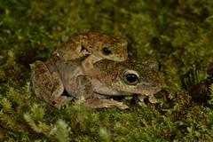 Green-eyed Tree Frog (Litoria serrata) (shaneblackfnq) Tags: greeneyed tree frog litoria serrata shaneblack amphibian mossman rainforest tropics tropical fnq far north queensland australia mating amplexus