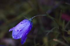 Morning flower (stefan.bueti) Tags: 2016 achensee maurach tirol