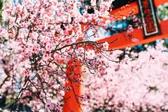 Cherry Blossom #2 (haoguoju) Tags: australia nsw newsouthwales sydney winter spring flower landscape zeiss auburnbotanicgardensauburn botanicgardens bokeh outdoor a7m2 a7 sony sonya7markii sonyilce7m2 fe35mmf14za fe 35mm f14 za carlzeiss distagon3514za distagon tree bright pink sunny cherryblossom 40 auburncherryblossomfestival auburn
