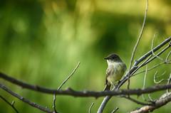 Sitting Pretty (flashfix) Tags: september282016 2016 2016inphotos nikond7000 nikon ottawa ontario canada 40mm marsh bird animal branch birdphotography nature wildlife wildlifewednesday mothernature bokeh hbw