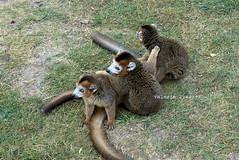 P1060260 (LaBonVampire) Tags: lemur animals nature leica leicalenses lumix