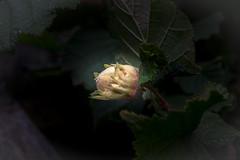Lone Nut (Myrialejean) Tags: grantham england unitedkingdom gb hazel nut tree leaves garden outdoors d7200 sigma lone harvest autumn