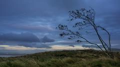 In the wind (Bastian.K) Tags: schottland scot scottish schottisch scotland scotch old man stor storr isly skye sky hebrides hebriden wanderung hike zeiss loxia 35mm 20 carl loxia3520 sony a7rii ilce7rii ilce7r2 a7rmkii wind tree baum bäume trees field feld felder wolken himmel cloud cloudy clouds