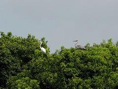 Grey heron () joining a great egret () (Greg Peterson in Japan) Tags: birds yasu rivers shiga egretsandherons wildlife oyamakawa japan shigaprefecture jpn