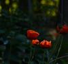 DSC_1910a (Fransois) Tags: fin end bokeh automne fall pavots poppies dof