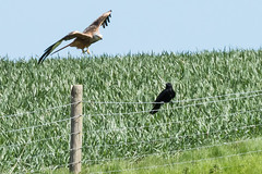 "Red Kite & Raven May 2016 ""An Encounter"" (5) (jgsnow) Tags: ravenredkite birds raptor redkite raven conflict corvid"