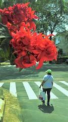 Primavera j nas ruas. (Jos Argemiro) Tags: primavera verno vernal spring printemps rua exterior hemisfrio sul hemisphere street southern osasco sao paulo flor estao ano tempo ciclo season flower time