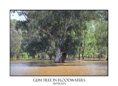 Gum Tree in Floodwaters (sugarbellaleah) Tags: gumtree flood floodwaters artistic leaves water flowing nature environment landscape weather australia centralwestnsw