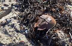 Left by the Tide (RockN) Tags: stillife seaweed horseshoecrab beach capecod falmouth massachusetts newengland