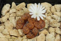 25 septembre 2016 - Conophytum pellucidum 'Argent' TS460 (Mafate79) Tags: 2016 conophytumpellucidumargent conophytumpellucidum argent ts460 conophytum aizoaceae aizoaces aizoace mesemb mesembryanthemaceae mesembryanthemaces mesembryanthemace plante fleur sectionpellucida elk