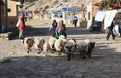 Sheep taken out in Challapampa, Isla del Sol, Lake Titicaca / Bolivia (anji) Tags: bolivia southamerica americasur latinamerica titicaca lagotiticaca laketiticaca