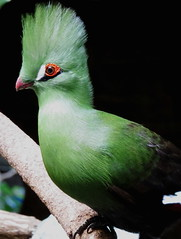 Rockin the do (Hayseed52) Tags: bird green hairdo redeye birdkingdom niagarafalls