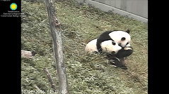 2016_10-01d (gkoo19681) Tags: beibei meixiang treattime yummyfruitcicle bigboyfruitcicle notsharing feetsies stealing togetherness toocute ccncby nationalzoo
