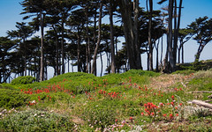 Lands End (San Francisco Gal) Tags: ggnra sanfrancisco landsend montereycypress indianpaintbrush tree flower wildflower