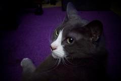 Arwen (partymonstrrrr) Tags: cats cat kitty kitteh kitties arwen kittehs