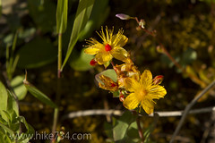 "Western St. Johnswort • <a style=""font-size:0.8em;"" href=""http://www.flickr.com/photos/63501323@N07/7756405008/"" target=""_blank"">View on Flickr</a>"