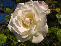 white rose (ToJoLa) Tags: summer colour nature canon see meer natuur zomer 2012 duitsland kleuren biotoop canong12 kirckenbecker