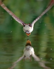 Drinking (Horst Beutler) Tags: bird flying inflight pentax drinking swallow barnswallow hirundorustica k5 schwalbe rauchschwalbe pentaxart pentaxsmcda40300 copyrighthorstbeutlerphotography