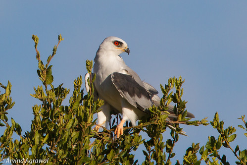 White-Tailed Kite - IMG_3400