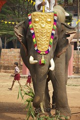 Elephant Festival, Adikadalayi, Kannur (Malc ) Tags: india elephant temple photo photos kerala malc homestay indianelephant kannur elephantfestival photosof cannanore templefestival elephasmaximusindicus thottada malcc malcolmchapman adikadalayi kkheritage kariveeran malcolmpchapman