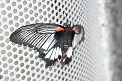 Spangle Butterfly (kana hata) Tags: macro japan butterfly zoo tokyo sony tama spangle