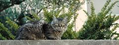 Domenica in mostra... (virgiliomulas.) Tags: michela domenica gatta nipote centaurus solopervoi catnipaddicts virgiliocompany vg~catsgallery aspirantefotografa mifaccioammirare