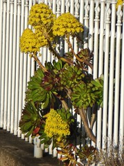 Breaking the Lines (mikecogh) Tags: flowers fence succulent strength determination aeonium palings